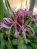 our flower - Crinum (Kim, Kathryn and Tony's delight)